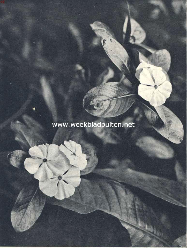 Een verwante uit tropische streken van den maagdenpalm (Lochnera Rchb)